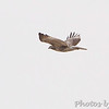 Red-tailed Hawk <br /> Confluence Road <br /> Riverlands Migratory Bird Sanctuary