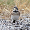 Horned Lark <br /> Creve Couer Bottoms <br /> 11/01/10
