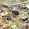 Dark-eyed Junco  <br /> Creve Couer Bottoms <br /> 11/01/10
