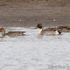 Northern Pintail <br /> Confluence State Park