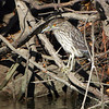 juvenile Black-crowned Night-Heron <br /> Confluence Road