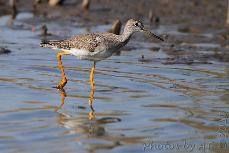Greater Yellowlegs <br /> pipeline pool west <br /> Confluence State Park