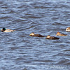 American Black Ducks, Mallard and Northern Pintail <br /> Ellis Bay <br /> Riverlands Migratory Bird Sanctuary
