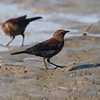 Rusty Blackbird <br /> pipeline pool west <br /> Confluence State Park
