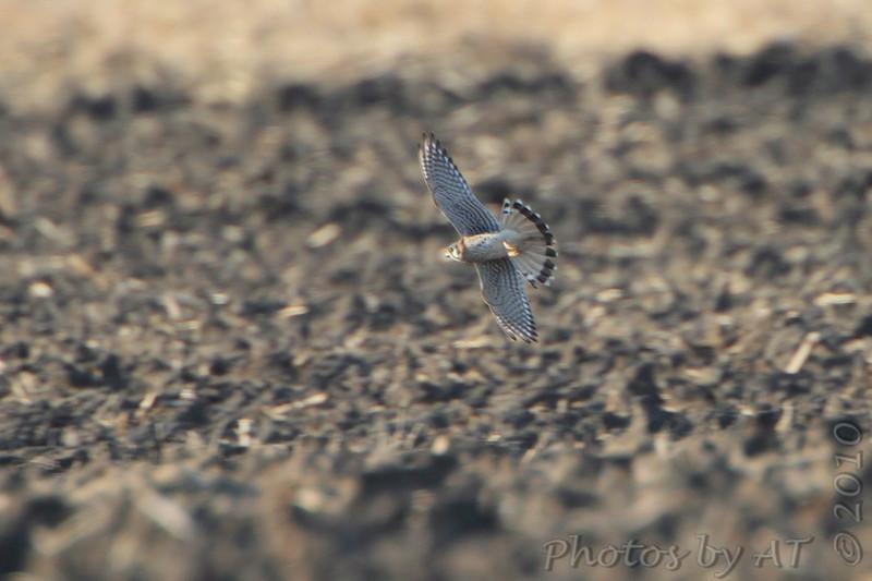 American Kestrel  <br /> Confluence Road  <br /> Riverlands Migratory Bird Sanctuary