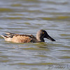 Northern Shoveler <br /> pipeline pool west <br /> Confluence State Park