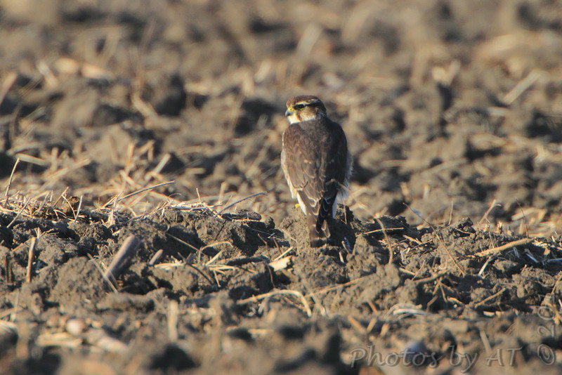 Merlin <br /> Confluence Road  <br /> Riverlands Migratory Bird Sanctuary