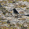 American Pipit <br /> Flooded area extending outside the <br /> entrance of Confluence Point State Park