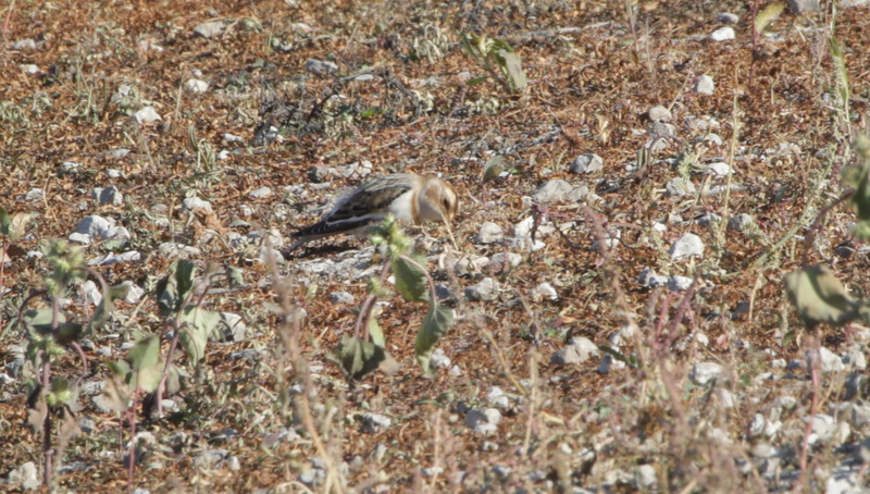"Snow Bunting <br> Flooded area extending outside the <br> entrance of Confluence Point State Park <br><br><span class=""noShowSmart""> <a href=""/MyKeywords/Bird-Videos/n-gF9bt/i-SFvP3Qt/A""> <span style=""color:yellow"">Click here to open video in lightbox/full screen</span></a> </span>  <span class=""noShowGallery""> <a href=""/Birds/Birding-2010-November/2010-11-06-Confluence-Road/i-SFvP3Qt/A""> <span style=""color:yellow"">Click here to open video in lightbox/full screen</span></a> </span>"