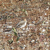 "Snow Bunting <br> Flooded area extending outside the <br> entrance of Confluence Point State Park <br><br><span class=""noShowSmart""> <a href=""/MyKeywords/Bird-Videos/n-gF9bt/i-tZSDxjx/A""> <span style=""color:yellow"">Click here to open video in lightbox/full screen</span></a> </span>  <span class=""noShowGallery""> <a href=""/Birds/Birding-2010-November/2010-11-06-Confluence-Road/i-tZSDxjx/A""> <span style=""color:yellow"">Click here to open video in lightbox/full screen</span></a> </span>"