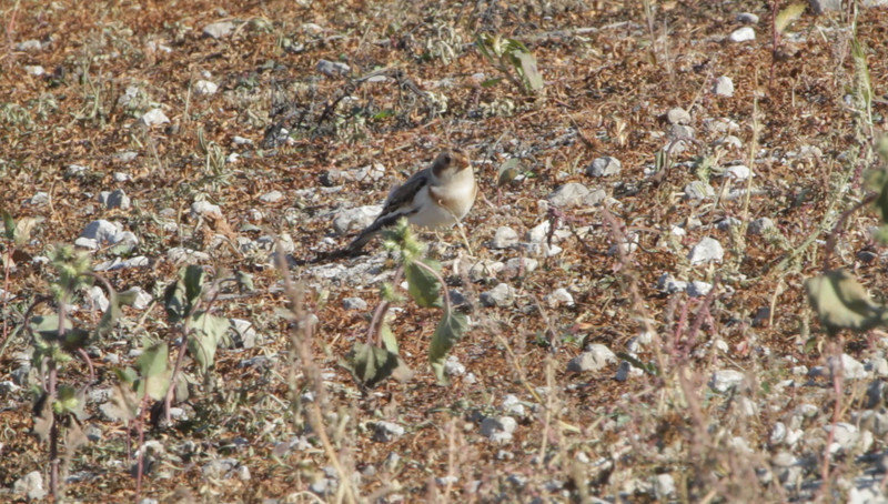 """Snow Bunting <br> Flooded area extending outside the <br> entrance of Confluence Point State Park <br><br><span class=""""noShowSmart""""> <a href=""""/MyKeywords/Bird-Videos/n-gF9bt/i-xgFzH9Q/A""""> <span style=""""color:yellow"""">Click here to open video in lightbox/full screen</span></a> </span>  <span class=""""noShowGallery""""> <a href=""""/Birds/Birding-2010-November/2010-11-06-Confluence-Road/i-xgFzH9Q/A""""> <span style=""""color:yellow"""">Click here to open video in lightbox/full screen</span></a> </span>"""