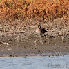 Wood Duck <br /> Confluence Point State Park <br /> Pipeline pool west