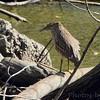 Juvenile Black-crowned Night-Heron <br /> Confluence Road