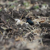 Brewer's Blackbird  <br /> University of MO's Bradford Farm