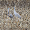 Sandhill Cranes <br /> Eagle Bluffs Conservation Area