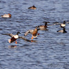 Northern Shoveler and Lesser Scaup   <br /> Ellis Bay <br /> Riverlands Migratory Bird Sanctuary
