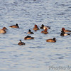 Canvasback, Redhead, Lesser Scaup <br /> Ellis Bay <br /> Riverlands Migratory Bird Sanctuary