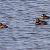 Redhead Ducks and Ruddy Duck   <br /> Ellis Bay <br /> Riverlands Migratory Bird Sanctuary