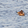 Ruddy Ducks     <br /> Ellis Bay <br /> Riverlands Migratory Bird Sanctuary