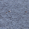 Hooded Merganser and Common Goldeneye <br /> Ellis Bay <br /> Riverlands Migratory Bird Sanctuary