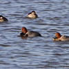 Redhead <br /> and Ruddy Ducks   <br /> Ellis Bay <br /> Riverlands Migratory Bird Sanctuary