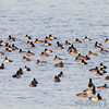 Ring-necked Duck and Lesser Scaup <br /> Ellis Bay <br /> Riverlands Migratory Bird Sanctuary