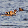 Northern Pintail and Ruddy Duck      <br /> Ellis Bay <br /> Riverlands Migratory Bird Sanctuary