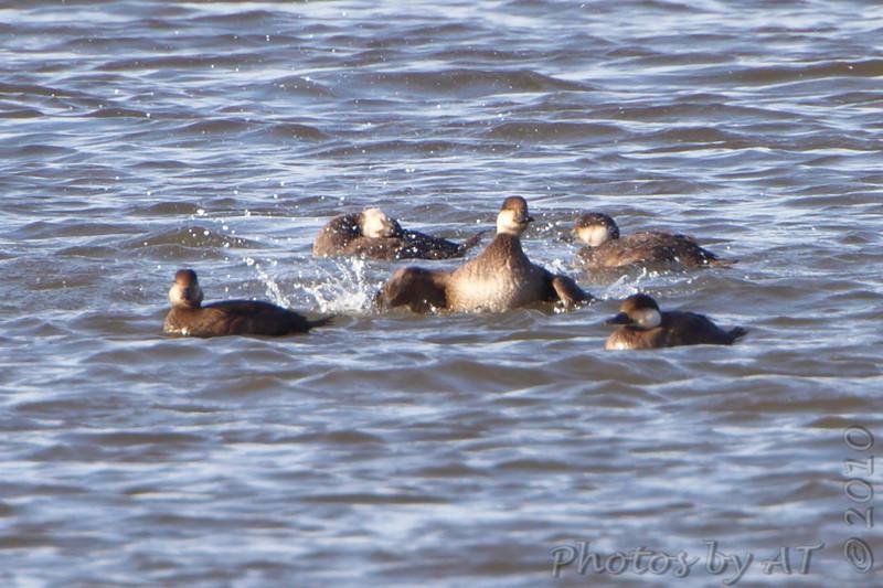 Black Scoters <br /> Ellis Bay <br /> Riverlands Migratory Bird Sanctuary