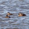 Black Scoters and Ruddy Duck  <br /> Ellis Bay <br /> Riverlands Migratory Bird Sanctuary