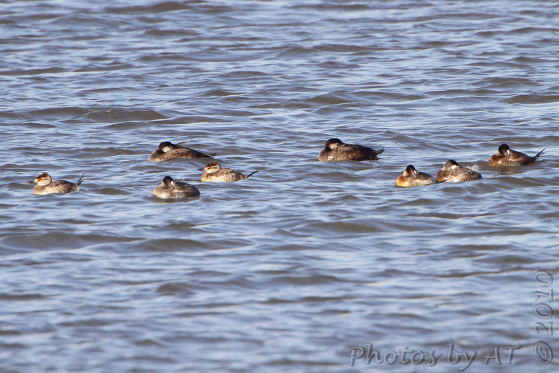 Black Scoters and Ruddy Ducks  <br /> Ellis Bay <br /> Riverlands Migratory Bird Sanctuary