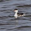 Horned Grebe <br /> Ellis Bay <br /> Riverlands Migratory Bird Sanctuary