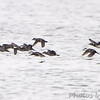 Long-tailed Duck and Ruddy Ducks <br /> Creve Coeur lake