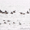 Rudy Ducks <br /> Creve Coeur lake