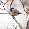Black-capped Chickadee <br /> Foristell, Mo.