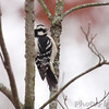 Downy Woodpecker <br /> Foristell, Mo.