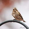 female Purple Finch <br /> Foristell, Mo.