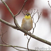 American Goldfinch <br /> Foristell, Mo.