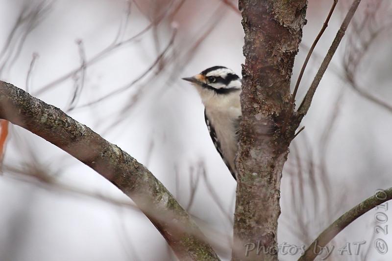 Downy Woodpecker <br /> Foristell, Mo.