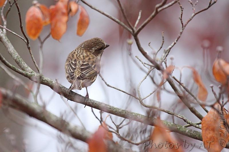 female Purple Finch <br /> Foristell, Mo.