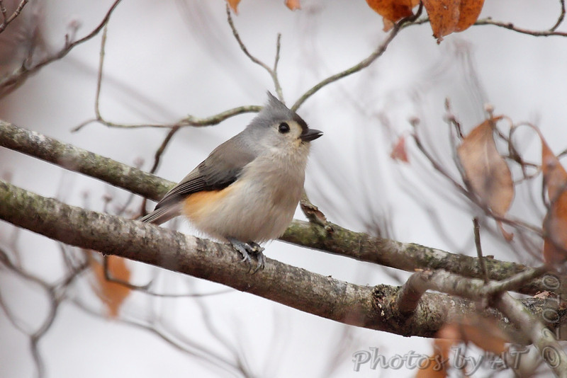 Tufted Titmouse  <br /> Foristell, Mo.