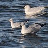 Bonaparte's and Ring-billed Gulls <br /> Teal Pond <br /> Riverlands Migratory Bird Sanctuary