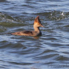 female Hooded Merganser <br /> Teal Pond <br /> Riverlands Migratory Bird Sanctuary