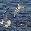 Ring-billed Gull, Bonaparte's Gull, Common Goldeneye and Hooded Merganser <br /> Teal Pond <br /> Riverlands Migratory Bird Sanctuary