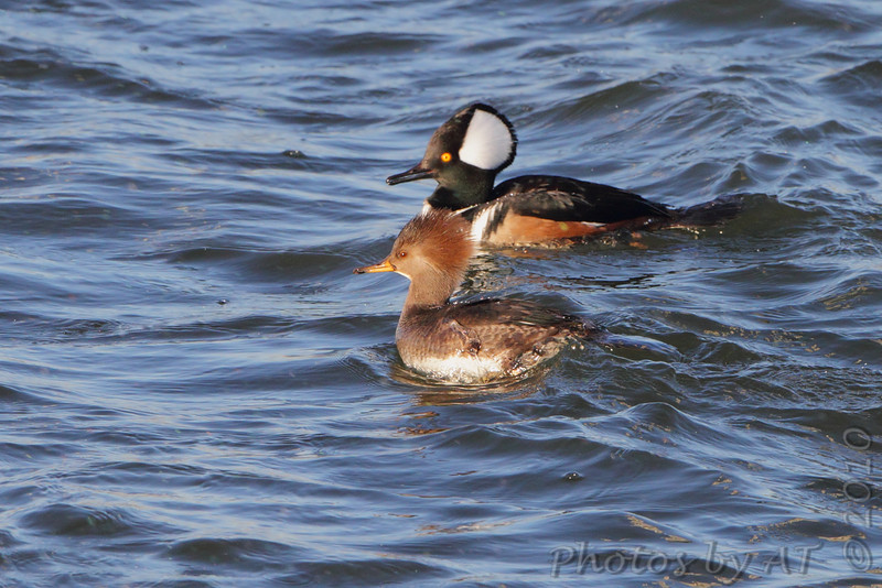 Hooded Merganser <br /> Teal Pond <br /> Riverlands Migratory Bird Sanctuary