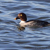 female Common Goldeneye <br /> Teal Pond <br /> Riverlands Migratory Bird Sanctuary