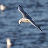 Bonaparte's Gull  <br /> Teal Pond <br /> Riverlands Migratory Bird Sanctuary