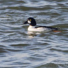 Common Goldeneye <br /> Teal Pond <br /> Riverlands Migratory Bird Sanctuary