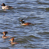 Common Goldeneye and Hooded Merganser <br /> Teal Pond <br /> Riverlands Migratory Bird Sanctuary