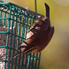 Carolina Wren <br /> Bridgeton, Mo. <br /> 11-08-2010