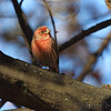 House Finch <br /> Bridgeton, Mo. <br /> 11-14-2010